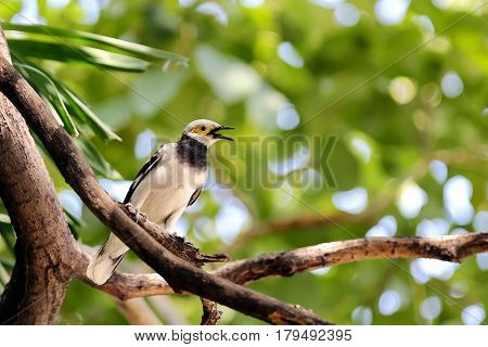 Singing bird on the branch green background founded in center of Bangkok Thailand