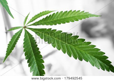 Marijuana Leaf Black and White Background Close Up High Quality