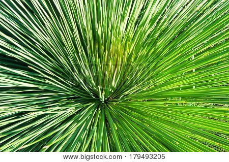 Long Spiky Leaves Of Xanthorrhoea Plant