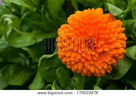 Bright Orange Flower Of Calendula Officinalis, Calendula Flower