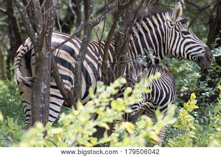 Burchells zebra in between the bushes at Marakele national park