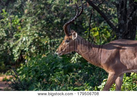 Impala ( Aepyceros melampus ) closeup photograph