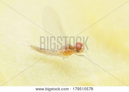 Close up male Mayfly on candle sheet