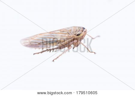 Brown plant hopper isolated on white background