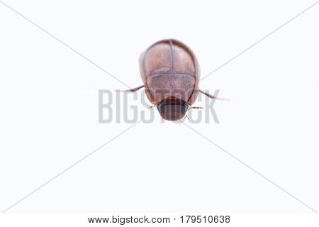 Brown June beetle isolated on white background