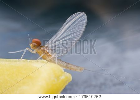 Super macro male mayfly on candle sheet
