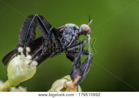 Empididae collecting honeydew from flower with green background