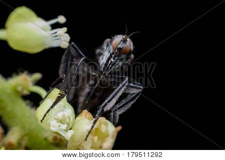 Empididae collecting honeydew from flower with black background