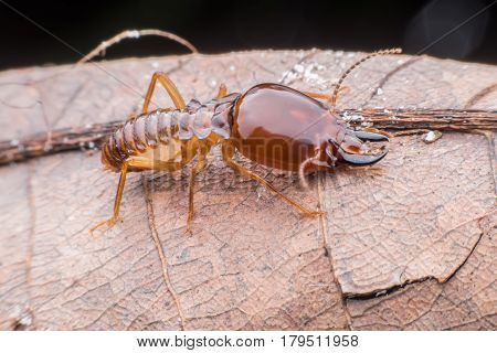 Super macro Termite walking on dried leaf