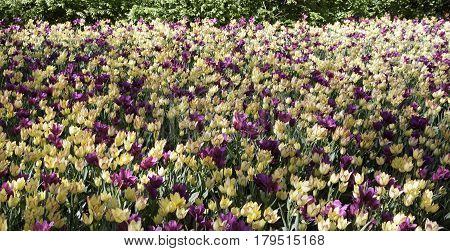 Wide view of a large bed of purple and yellow colored open faced tulips on a bright sunny day in May at the International Tulip Festival in Ottawa, Ontario.