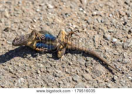 Western Fence Lizard (Sceloporus occidentalis) plays dead to stay alive. Defense tactic of an adult male, after got caught and turned loose. Santa Clara County, California, USA.