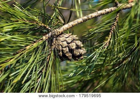 brown pinecone on a green branch of pine