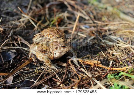 Reproduction of amphibians frogs. Brown toads in the spring