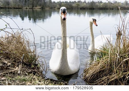 Close-up of two beautiful white swans at the lakeside. Swans (Cygnus) at the lake. View on two curious Swans in a Spring Morning