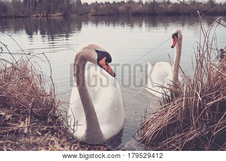 Close-up of two beautiful white swans at the lakeside. Swans (Cygnus) at the lake. View on two lovely Swans in the Morning