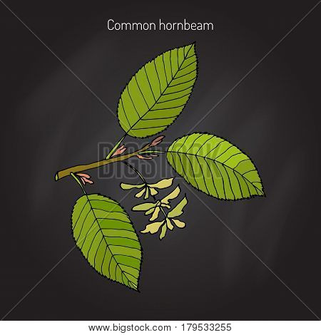 European or common hornbeam Carpinus Betulus with leaves and fruits. Botanical hand drawn vector illustration