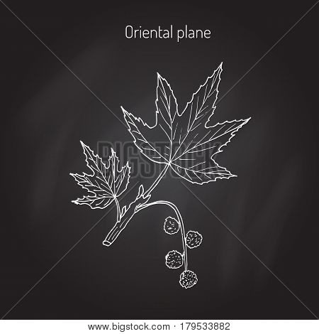 Platanus orientalis, or oriental plane. Hand drawn botanical vector illustration