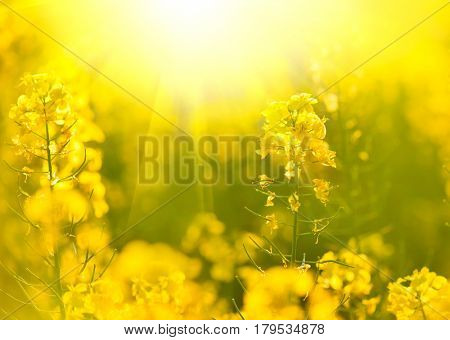 Blooming canola flowers close up. Rape on the field in summer. Bright Yellow rapeseed oil. Flowering rapeseed. Colza.