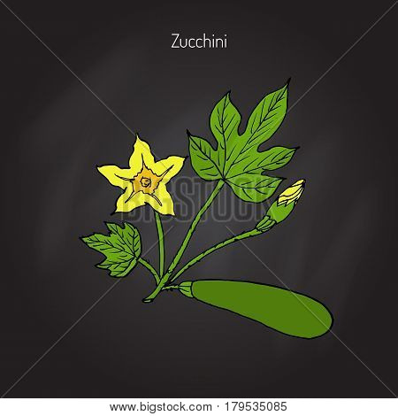 Flowering and ripe fruits of zucchini plant, vegetable garden. Hand drawn botanical vector illustration