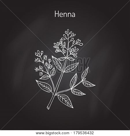 Henna or hina, henna tree, mignonette tree, Egyptian privet. Hand drawn botanical vector illustration