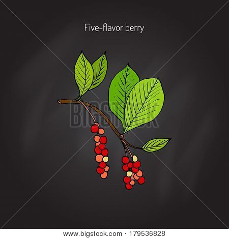 Branch with berries of Chinese Schisandra five flavor berry . Hand drawn botanical vector illustration