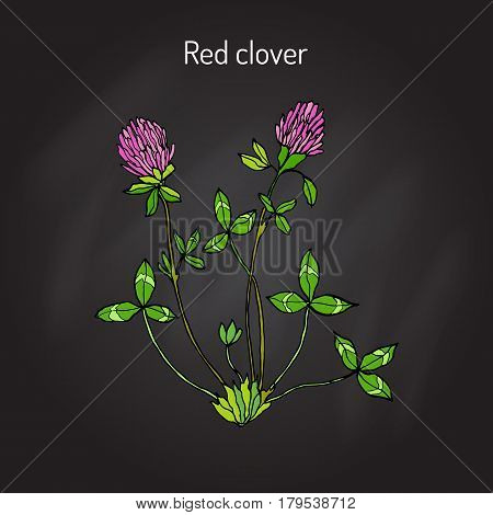 Red Clover or Trifolium pratense, hand drawn botanical vector illustration