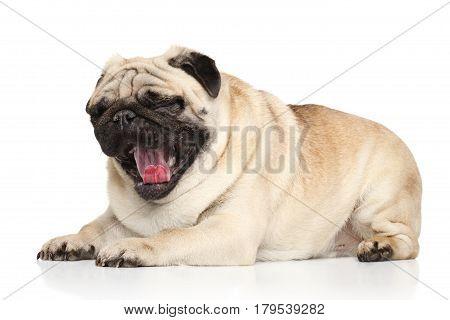 Pug Dog Yawn