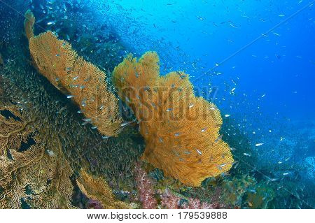 Big colorful oftwo sea fan in coral reef