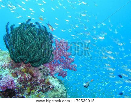 Colorful of feather  star and pink soft coral
