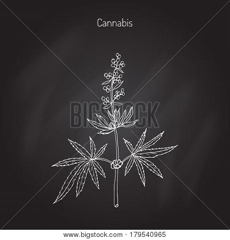 Hemp, Cannabis sativa, Cannabis indica, Cannabis ruderalis, or Chanvre, medicinal plant. Hand drawn botanical vector illustration