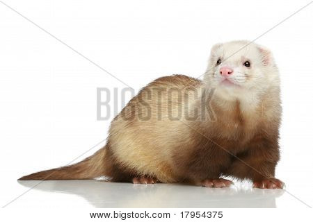 Ferret (Mustela putorius furo) on a white background poster