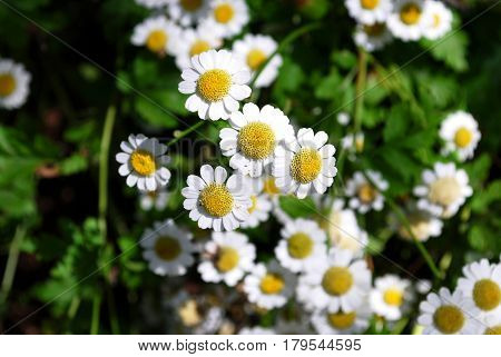 Feverfew wild flowers blooming in a wild garden.