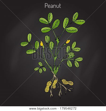 Peanut, or groundnut Arachis hypogaea . Hand drawn botanical vector illustration