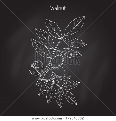 Walnut branch Juglans regia , or Persian walnut, English walnut. Hand drawn botanical vector illustration