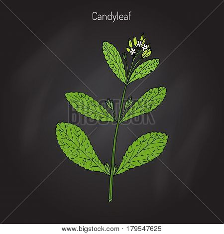 Stevia rebaudiana known as candyleaf, sweet leaf, or sugarleaf. Hand drawn botanical vector illustration.