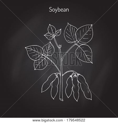 Soybean, or soya bean Glycine max . Hand drawn botanical vector illustration
