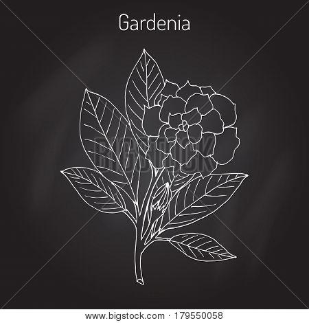 Gardenia jasminoides, gardenia, cape jasmine, cape jessamine, danh-danh, or jasmin. Hand drawn botanical vector illustration