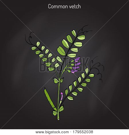 The vetch vicia sativa , or common vetch, garden vetch, tare. Hand drawn botanical vector illustration