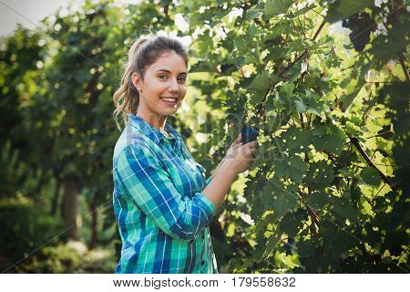 Happy woman in vineyard checking grapes before harvesting