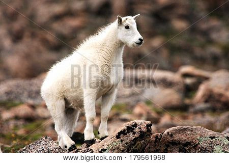 Baby Mountain Goat on Mt. Evans near Denver Colorado