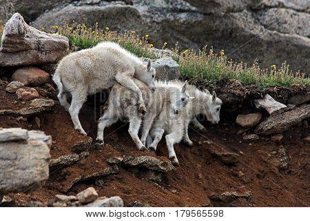 Mountain Goats on Mt. Evans near Denver Colorado