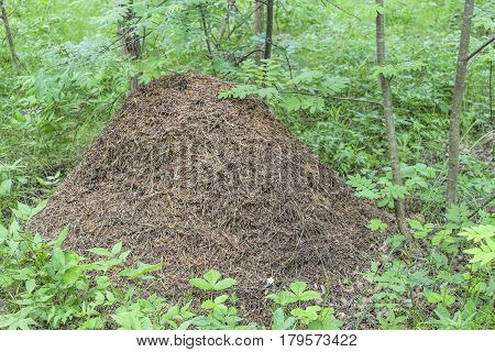 Big anthill in the woods in summer