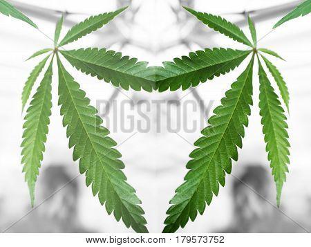 Marijuana Leafs  Inside A Laboratory High Quality