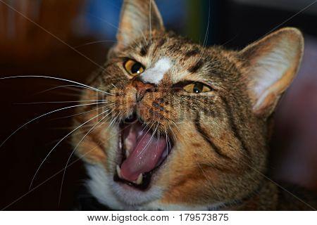 Portrait of a beloved cat who sings spring songs
