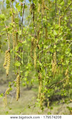 Blossoming catkins and leaves on a birch branch in spring