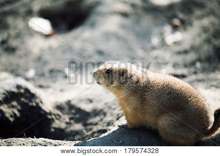 Beautiful cute prarie dog alert and waiting