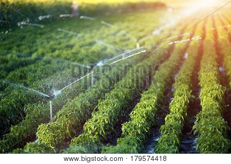 Irrigation system in function watering agriculutural plants