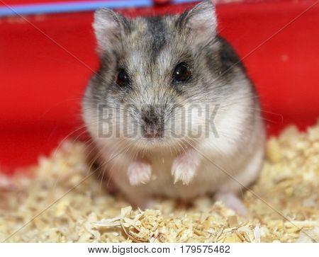 Phodopus sungorus. Jungar hamster in a cage.