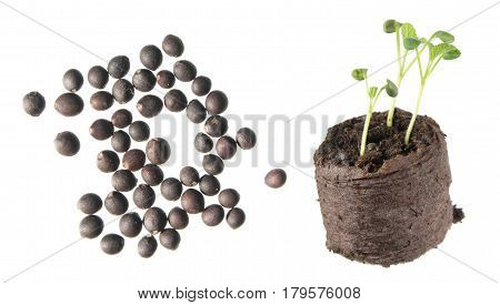Seeds and seedling of sage (Salvia officinalis) isolated on white background