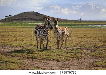 Zebras herd on savanna. Amboseli national park in Kenia